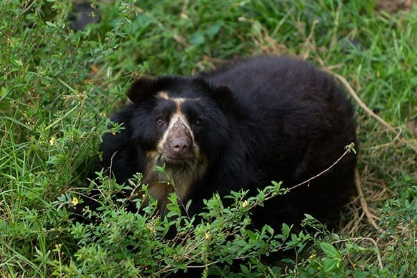 The Andean Bear: An Emblem of Quito
