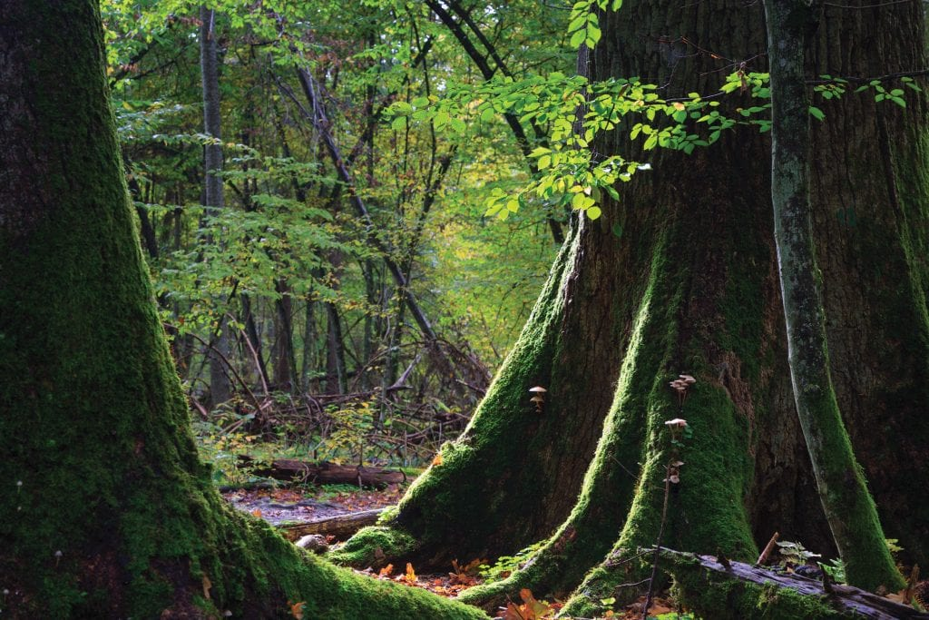 Under Threat: Europe's Old-Growth Forests