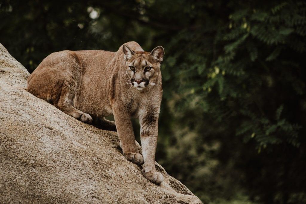 Rediscovering the Lost Puma in Primavera Forest